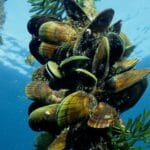 Mussla från Nya Zeeland – ledernas räddare