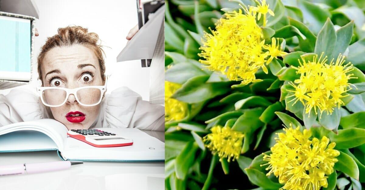 Rosenrot: En fantastisk växt som ger dig ork