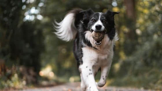 immunforsvar hund