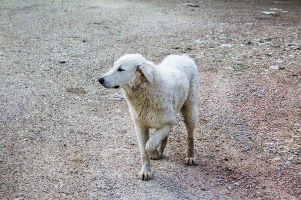 hund som haltar av artros hos hund